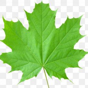 Leaf - Sugar Maple Maple Leaf Tree Autumn Leaf Color PNG