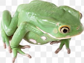 Frog Image - Frog Icon PNG