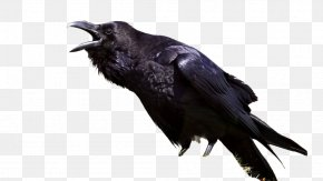 Bird - The Raven Bird Common Raven Meaning Symbol PNG