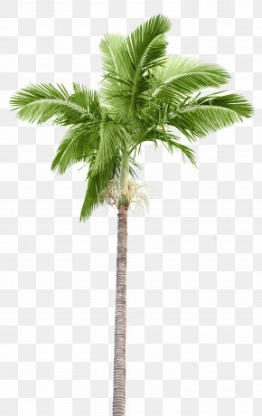 Palm Tree Island - Arecaceae Stock Photography Palm Branch Coconut PNG