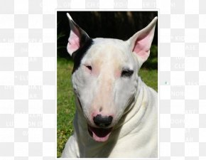 Bull Terrier - Miniature Bull Terrier Bull And Terrier American Pit Bull Terrier Old English Terrier PNG