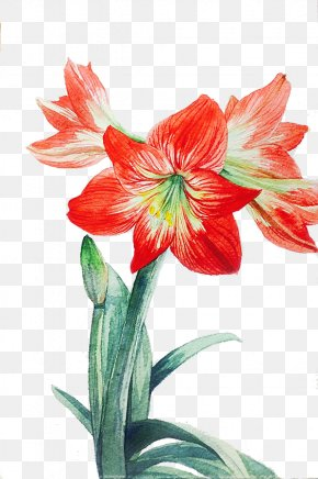 Red Lily - Lilium Red Flower PNG