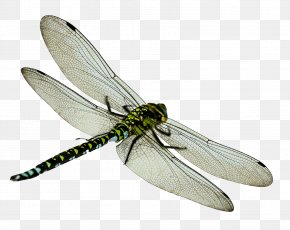 Dragonfly - Dragonfly Icon PNG