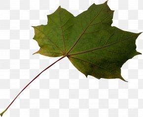 Leaf - Maple Leaf Plane Trees PNG
