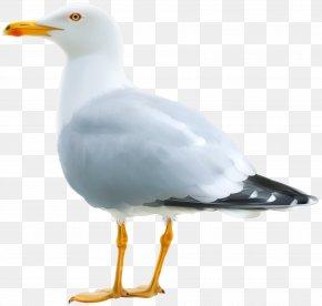 Seagull Clipart Image - Gulls Clip Art PNG