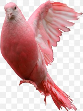 Pink Pigeon Image - Blessing Friday Morning Happiness PNG