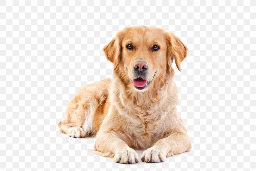 Golden Retriever Puppy Pet Sitting Cat Png 658x548px Golden Retriever Art Carnivoran Cat Companion Dog Download