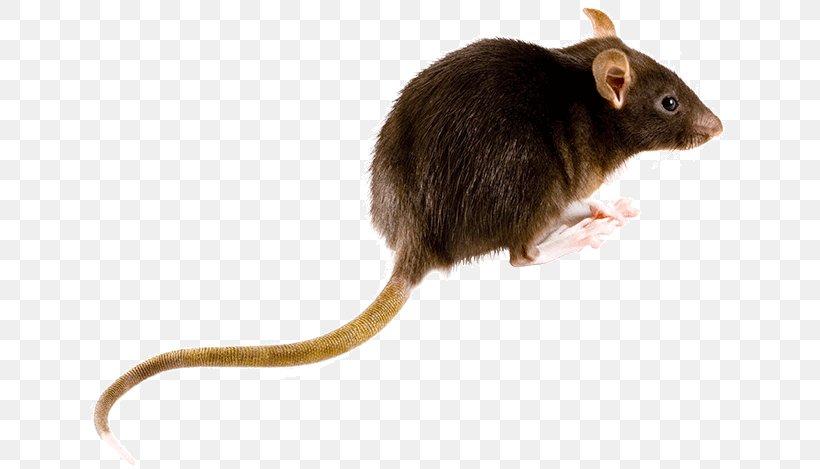 Brown Rat Mouse Rodent Black Rat Muskrat, PNG, 640x469px, Brown Rat, Black Rat, Dormouse, Fauna, Gerbil Download Free
