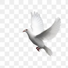 Bird Pigeon Picture Material,Pigeons - Columbidae Domestic Pigeon Bird PNG