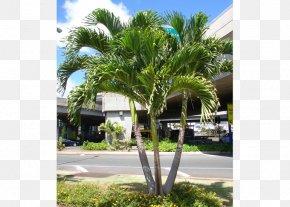 Green Palm Leaves - Adonidia Merrillii Tree Wodyetia Canary Island Date Palm PNG
