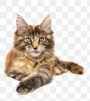 A Kitten - Maine Coon Norwegian Forest Cat Siberian Cat Kitten PNG