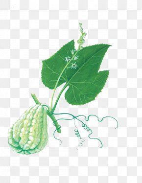 The Green Gourd On The Vines - Chayote Buddha's Hand Melon Food Bergamot Orange PNG