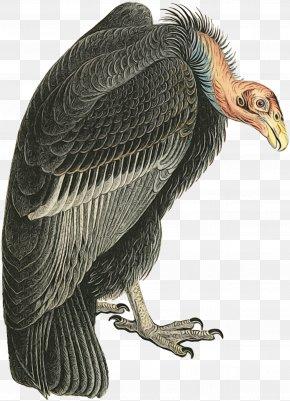 King Vulture Andean Condor - Bird Vulture Condor California Condor Bird Of Prey PNG