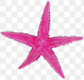 Starfish - Starfish Sand Echinoderm Rock PNG