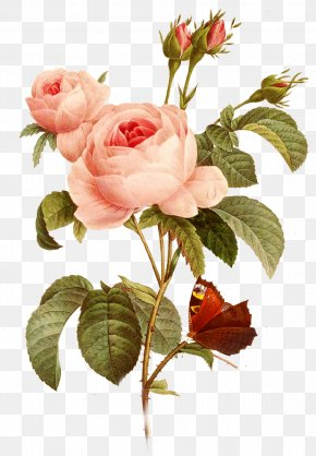 Flowers, Roses, Pink, Creative Taobao - Garden Roses Paper Decoupage Centifolia Roses Drawing PNG