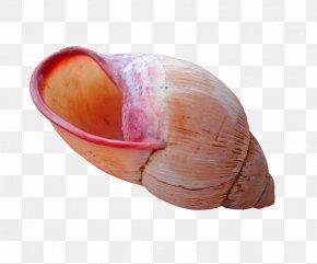 Seashell - Seashell Molluscs Mollusc Shell Nautilidae Snail PNG