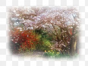 Cherry Blossom - Branch Cherry Blossom Tree PNG