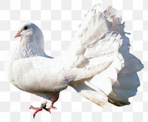 Dove - Columbidae Bird PNG
