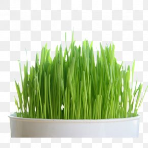 Wheatgrass Juice - Organic Food Juice Wheatgrass Organic Certification Seed PNG