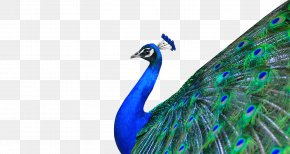 Peacock - Peafowl Download PNG