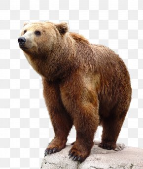 Brown Bear - Brown Bear Grizzly Bear PNG