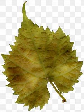 Leaf Plane Trees Grape Leaves Plane Tree Family PNG