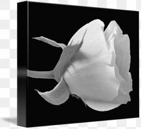 Rose Black And White - Rose Family Black And White Photography PNG