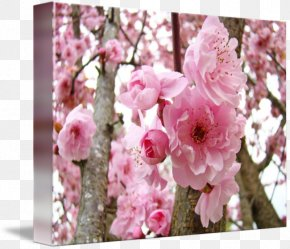 Pink Flowers Watercolor Fine Material - Blossom Floral Design Prunus Gallery Wrap Flower PNG