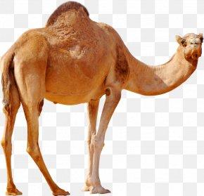 Camel - Dromedary Wild Bactrian Camel PNG