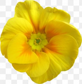 Yellow Apricot Blossom - Yellow Flower Garden Roses Petal PNG