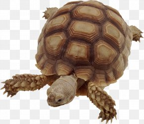 Turtle - Vertebrate Turtle Insect African Spurred Tortoise Animal PNG
