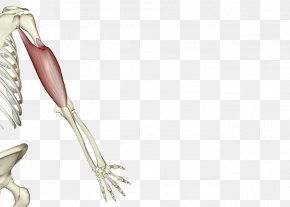 Human Skeleton - Shoulder Bone Muscle Human Skeleton PNG
