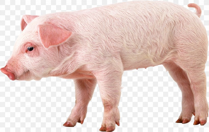 Domestic Pig 1080p High Definition Video Wallpaper Png