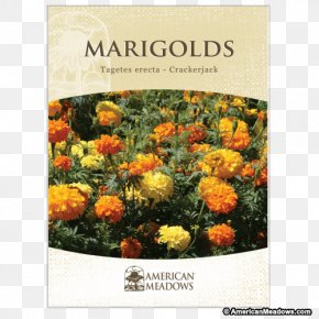 Flower - Mexican Marigold Marigolds Seed Flower Desert Marigold PNG