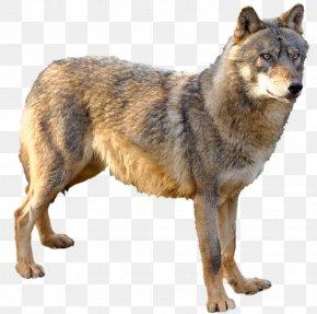 Kunming Wolfdog Czechoslovakian Wolfdog Saarloos Wolfdog Coyote Alaskan Tundra Wolf PNG