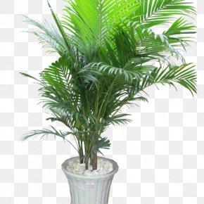 Tree - Ornamental Plant Areca Palm Houseplant Tree Arecaceae PNG