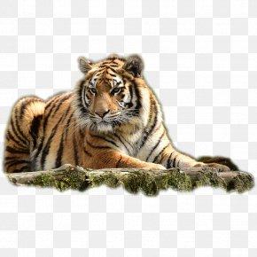 Tiger Lying - Arizona Bengal Tiger Animal Dog PNG