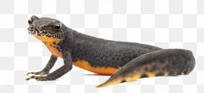 Amphibian Photos - Amphibian Display Resolution PNG