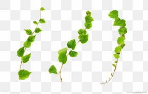 Vines Are Available For Free Download - Common Ivy Vine Plant Stock Photography PNG