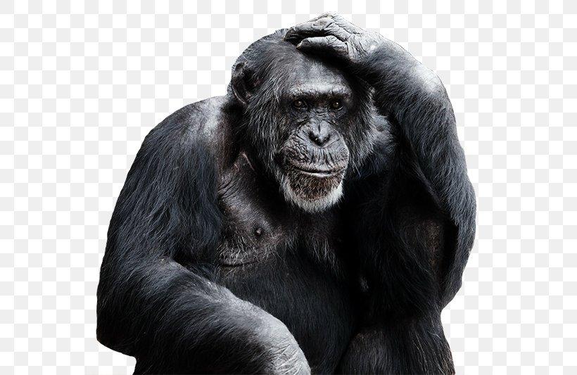 Common Chimpanzee Royal Burgers' Zoo Bonobo Primate Orangutan, PNG, 576x533px, Common Chimpanzee, Ape, Black And White, Bonobo, Chimpanzee Download Free