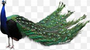 Peacock - Bird Peafowl Clip Art PNG