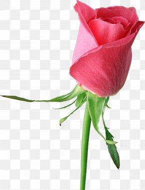 Pink Rose Large Clipart - Rose Pink Flower Clip Art PNG