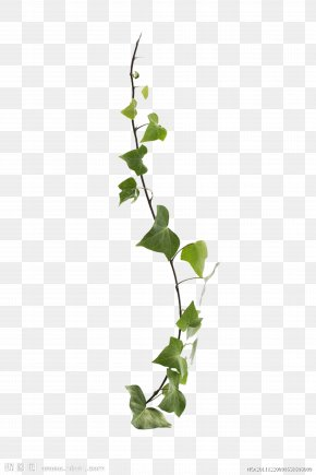 Vines Are Available For Free Download - Common Ivy Virginia Creeper Vine Leaf Plant PNG