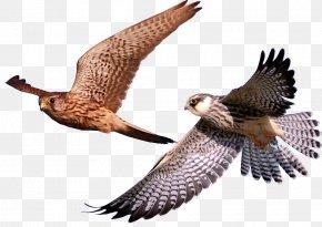 Falcon Birds Animals - Bird Hawk Eagle Falcon PNG