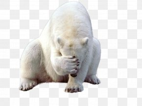 Polar White Bear - Polar Bear Kodiak Bear Earless Seal Walrus PNG