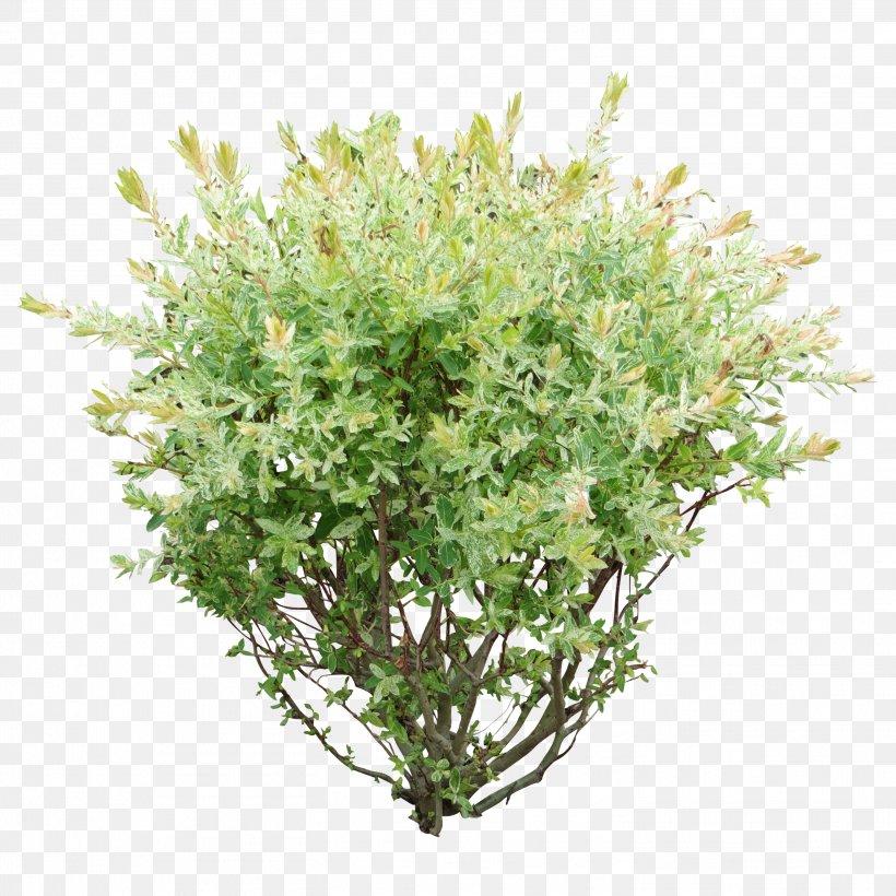 Shrub Plant Clip Art, PNG, 2914x2914px, Shrub, Box, Branch, Evergreen, Flower Download Free