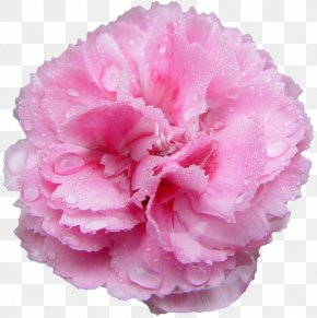 Rose - Pink Flowers Rose Carnation Nancy's Salon PNG