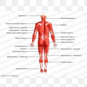 Human Body 3D - Thumb Muscle Homo Sapiens Anatomy Human Body PNG