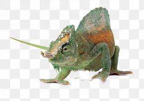 Free Buckle Chameleon - Chameleons Komodo Dragon Lizard U722cu884cu52a8u7269: U8725u8734 Reptile PNG