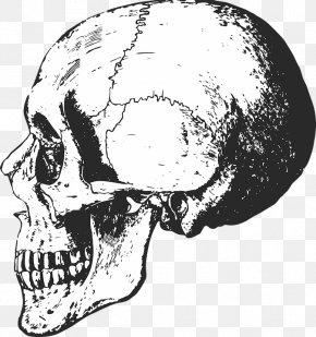 Skull - Skull Human Skeleton Bone Anatomy PNG